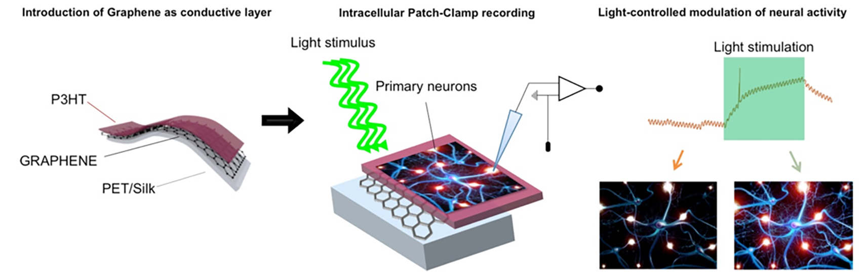 Schematic illustrating the Graphene-based interfaces for photostimulation of excitable tissues.